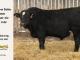 black-super-baldie-bull-for-sale-angus-simmental-fleckvieh-hybrid-5498_8579