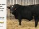 black-super-baldie-bull-for-sale-angus-simmental-fleckvieh-hybrid-5498_8580