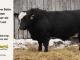 black-super-baldie-bull-for-sale-angus-simmental-fleckvieh-hybrid-5519_8598