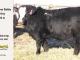 black-super-baldie-yearling-bull-for-sale-angus-simmental-fleckvieh-hybrid-14_8801