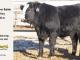 black-super-baldie-yearling-bull-for-sale-angus-simmental-fleckvieh-hybrid-14_8850