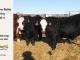 black-super-baldie-yearling-bull-for-sale-angus-simmental-fleckvieh-hybrid-17_305_8834