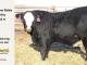 black-super-baldie-yearling-bull-for-sale-angus-simmental-fleckvieh-hybrid-17_8829