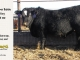 black-super-baldie-yearling-bull-for-sale-angus-simmental-fleckvieh-hybrid-190_8808