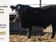 black-super-baldie-yearling-bull-for-sale-angus-simmental-fleckvieh-hybrid-190_8824
