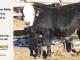 black-super-baldie-yearling-bull-for-sale-angus-simmental-fleckvieh-hybrid-19_8811