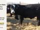 black-super-baldie-yearling-bull-for-sale-angus-simmental-fleckvieh-hybrid-20_8810