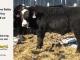 black-super-baldie-yearling-bull-for-sale-angus-simmental-fleckvieh-hybrid-20_8836