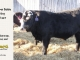 black-super-baldie-yearling-bull-for-sale-angus-simmental-fleckvieh-hybrid-227_8809