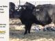 black-super-baldie-yearling-bull-for-sale-angus-simmental-fleckvieh-hybrid-227_8812