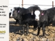black-super-baldie-yearling-bull-for-sale-angus-simmental-fleckvieh-hybrid-305_14_8826