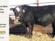 black-super-baldie-yearling-bull-for-sale-angus-simmental-fleckvieh-hybrid-309_8821