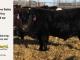 black-super-baldie-yearling-bull-for-sale-angus-simmental-fleckvieh-hybrid-318_8842