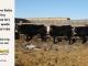 black-super-baldie-yearling-bull-for-sale-angus-simmental-fleckvieh-hybrid-328_4_408_8841