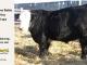 black-super-baldie-yearling-bull-for-sale-angus-simmental-fleckvieh-hybrid-328_8814