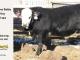 black-super-baldie-yearling-bull-for-sale-angus-simmental-fleckvieh-hybrid-328_8837