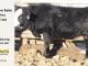 black-super-baldie-yearling-bull-for-sale-angus-simmental-fleckvieh-hybrid-408_8843