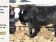 black-super-baldie-yearling-bull-for-sale-angus-simmental-fleckvieh-hybrid-408_8844