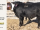 black-super-baldie-yearling-bull-for-sale-angus-simmental-fleckvieh-hybrid-44_8800