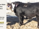 black-super-baldie-yearling-bull-for-sale-angus-simmental-fleckvieh-hybrid-44_8803