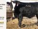 black-super-baldie-yearling-bull-for-sale-angus-simmental-fleckvieh-hybrid-44_8806