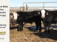 black-super-baldie-yearling-bull-for-sale-angus-simmental-fleckvieh-hybrid-99_118_8825