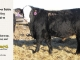 black-super-baldie-yearling-bull-for-sale-angus-simmental-fleckvieh-hybrid-99_8805