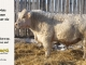 charolais-bull-for-sale-5--_8059