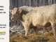 charolais-bull-for-sale-5--_8060