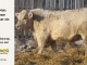 charolais-bull-for-sale-5--_8061
