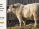 charolais-bull-for-sale-505_8050