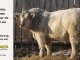 charolais-bull-for-sale-505_8051