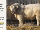 charolais-bull-for-sale-505_8052