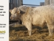 charolais-bull-for-sale-505_8067