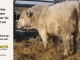 charolais-bull-for-sale-505_8071