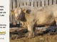 charolais-bull-for-sale-508_8058