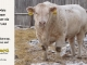 charolais-bull-for-sale-508_8158