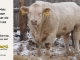 charolais-bull-for-sale-508_8160