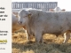 charolais-bull-for-sale-509_8079