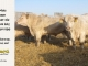 charolais-bull-for-sale-520_603_8070