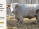 charolais-bull-for-sale-532_8035