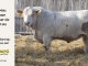 charolais-bull-for-sale-532_8036