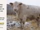 charolais-bull-for-sale-532_8159
