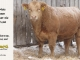 charolais-bull-for-sale-600_8164