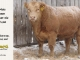 charolais-bull-for-sale-600_8165