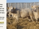 charolais-bull-for-sale-601_599_8047