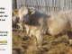 charolais-bull-for-sale-601_8046