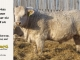 charolais-bull-for-sale-601_8048