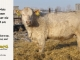 charolais-bull-for-sale-601_8049