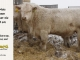 charolais-bull-for-sale-601_8169